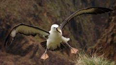 albatross atlantic yellow nosed seabird bird wings landing