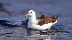 albatross black browed mollymawk bird