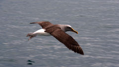 albatross bullers bird