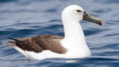albatross indian yellow nosed thalassarche carteri bird
