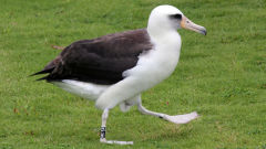 albatross laysan funny walk hawaii bird