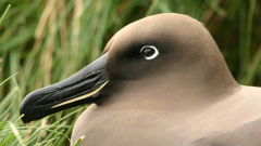 albatross light mantled phoebetria palpebrata head detail bird