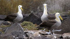 albatross waved galapagos three albatrosses birds rocks