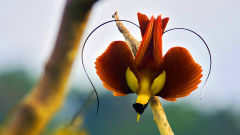 Bird of paradise colorful bird hd widescreen wallpaper birds backgrounds - Hd images of birds of paradise ...
