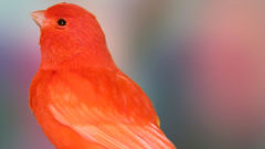 canary red cute bird