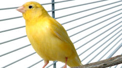 canary yellow cage pet bird