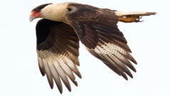 caracara bird flying