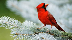 cardinal bird red branch