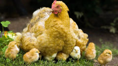 chicken mother chicks birds