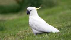 cockatoo wallpapers