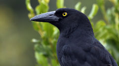 currawong bird black head