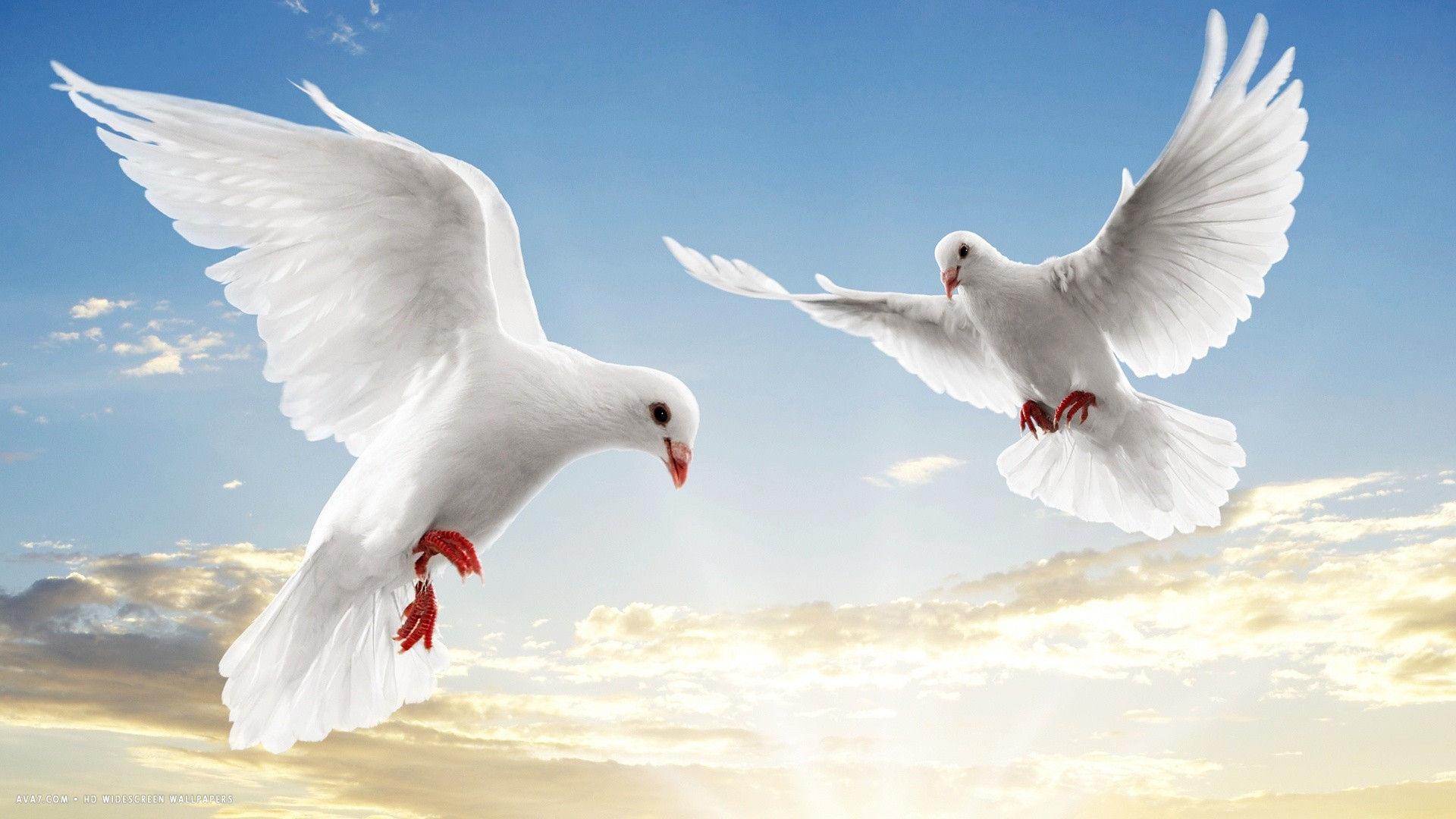 Dove white doves bird flying sky sunset clouds hd widescreen wallpaper