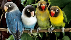 lovebird wallpapers
