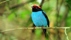 manakin wallpapers