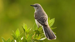 mockingbird wallpapers