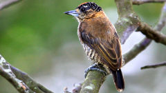 piculet wallpapers