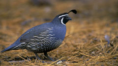 quail wallpapers