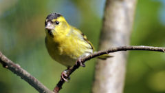 siskin wallpapers