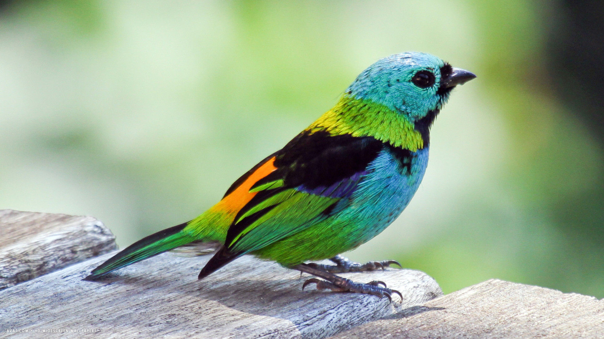 Tanager Colorful Bird Hd Widescreen Wallpaper Birds Backgrounds