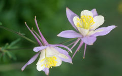 aquilegia wallpapers