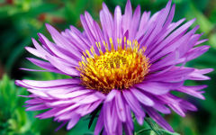 aster wallpapers