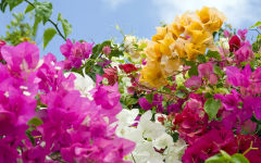 bougainvillea wallpapers