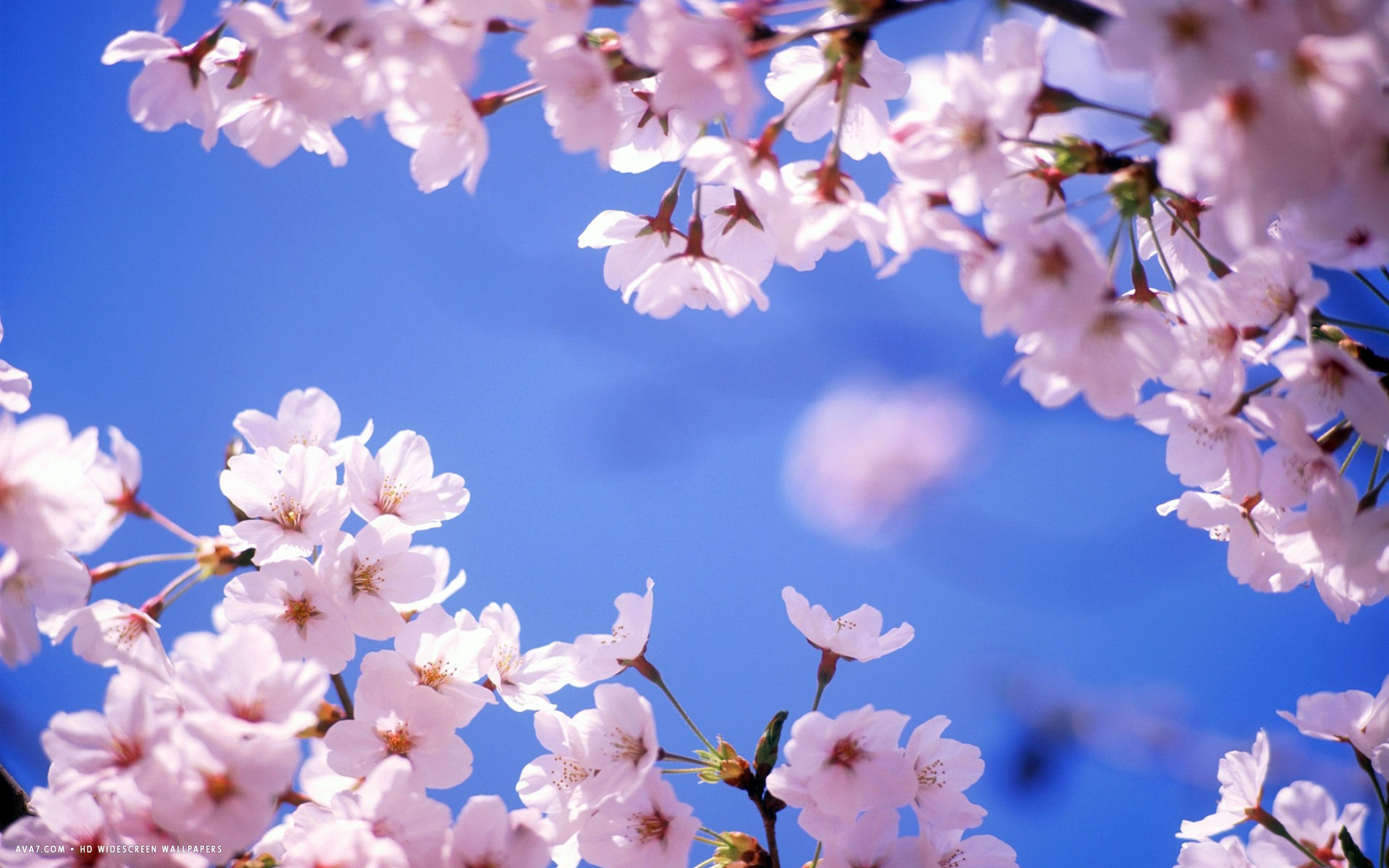 Cherry Blossom Flower Hd Widescreen Wallpaper