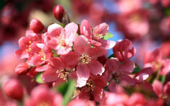 crabapple blossom wallpapers
