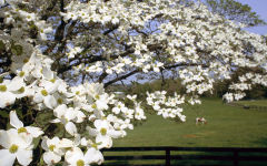 dogwood blossom wallpapers