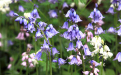 hyacinthoides wallpapers