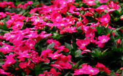 impatiens wallpapers