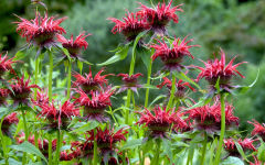 monarda wallpapers