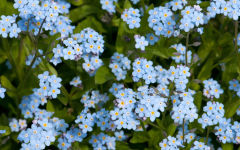 myosotis wallpapers