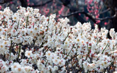 plum blossom wallpapers