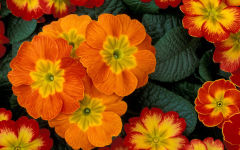 primula wallpapers