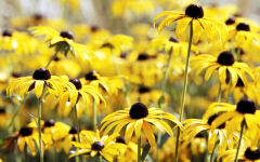 rudbeckia wallpapers