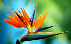 strelitzia wallpapers
