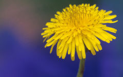 taraxacum wallpapers