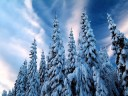 Snow-Covered Trees, Varmland, Sweden wallpaper
