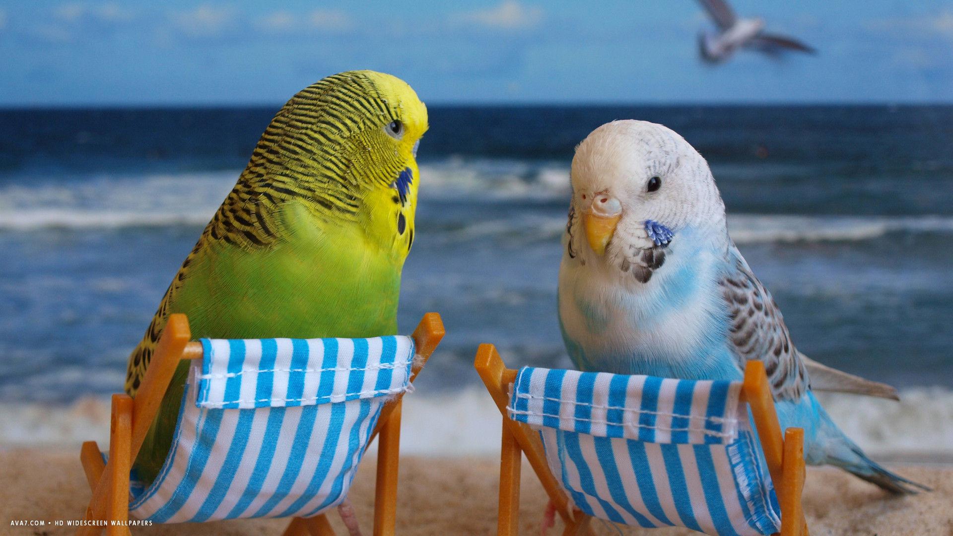 budgie funny budgies birds beach hd widescreen wallpaper / birds