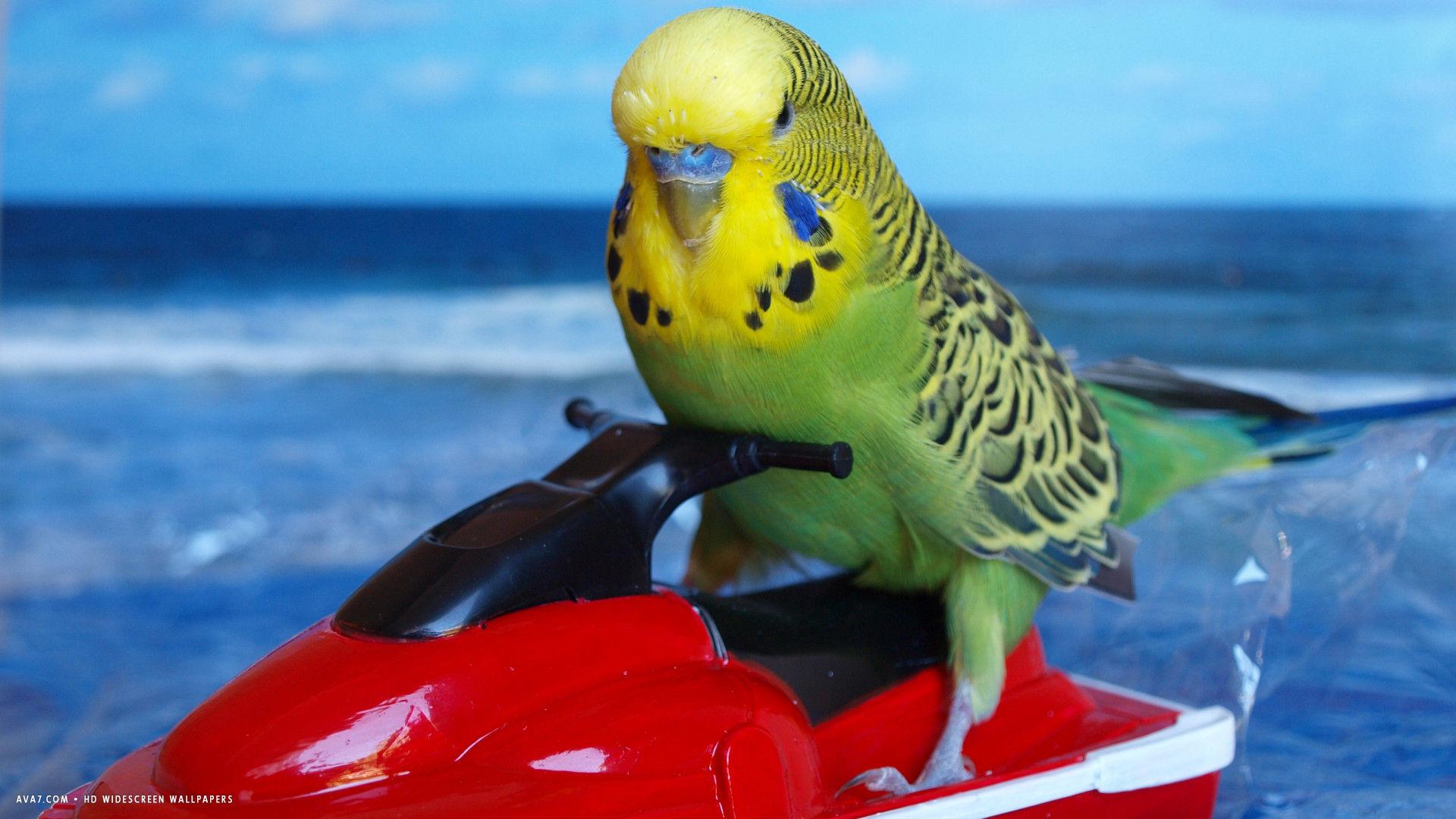 budgie funny sea bird hd widescreen wallpaper / birds backgrounds